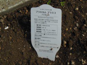 花の名前プラキカムブラスコ バイオレット