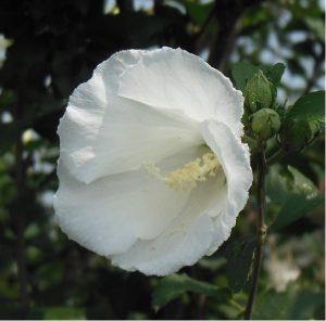 フヨウムクゲ花アップ