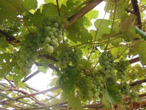 ブドウ収穫3