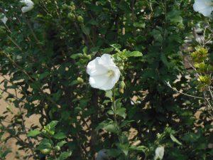 芙蓉畑の花